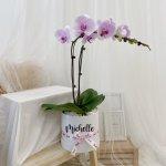 Dual Phalaenopsis (Lilac)